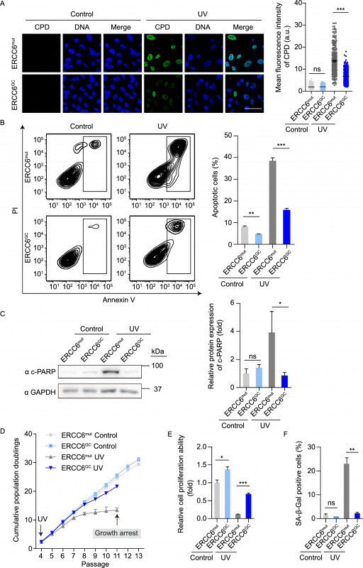 Testing Weekly Status Report Template Professional Rescue Of Premature Aging Defects In Cockayne Syndrome Stem Cells By