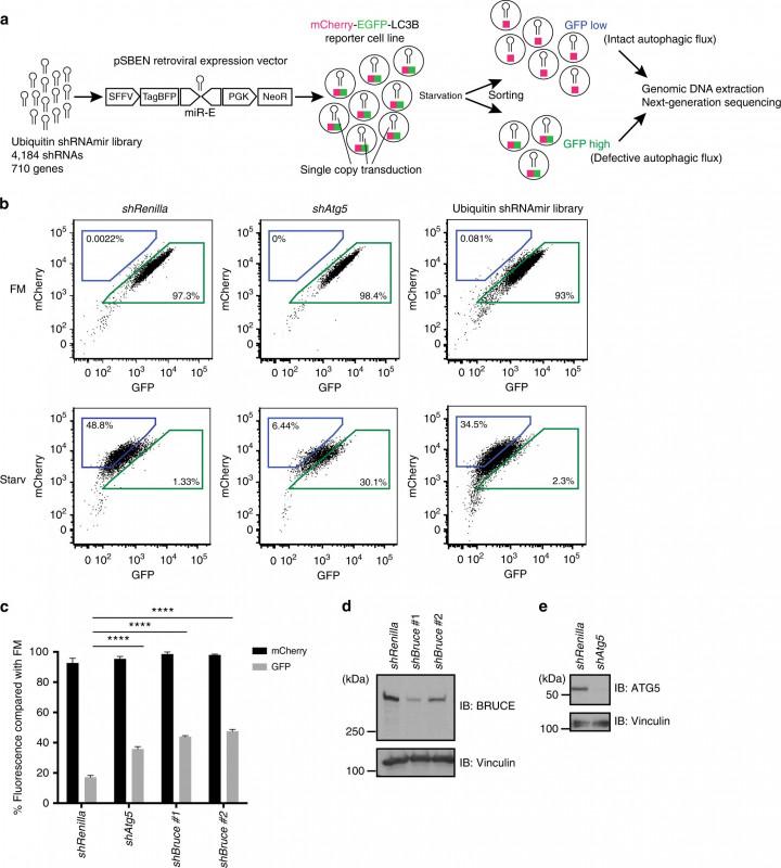 Universal Label Templates Unique The Iap Family Member Bruce Regulates Autophagosome Lysosome